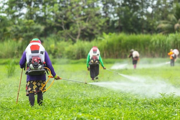 Agriculteur avec machine et pulvérisation de produit chimique sur une jeune rizière verte