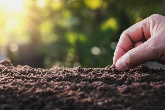 Agriculteur main plantation de haricot de moelle dans le potager avec coucher de soleil
