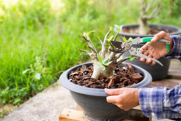 Agriculteur à la main tenant un sécateur pour une branche d'arbre adenium obesum dans un pot en plastique