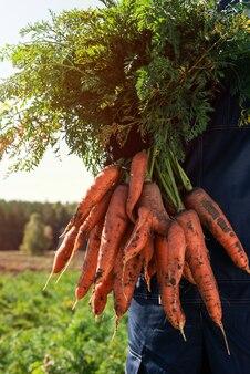Agriculteur mains dans des gants tenant un tas de carottes dans le concept de récolte de gros plan de jardin