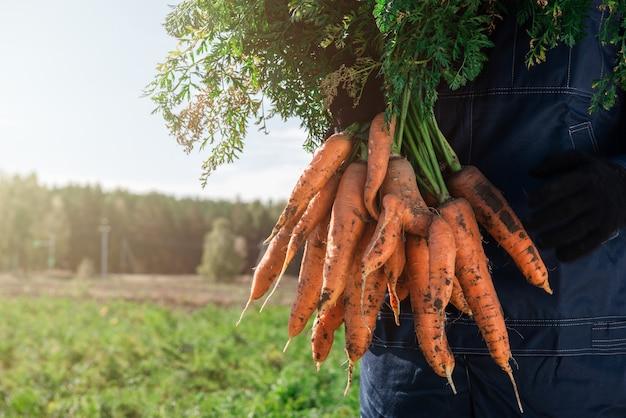 Agriculteur mains dans des gants tenant un tas de carottes dans le jardin, gros plan. notion de récolte