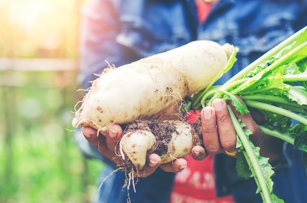 Agriculteur, mains fermier, récolte cru, blanc, daikon, frais, ferme