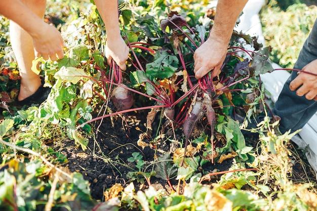 Agriculteur mains tenant un tas de betteraves fraîchement récoltées et une bêche de jardin
