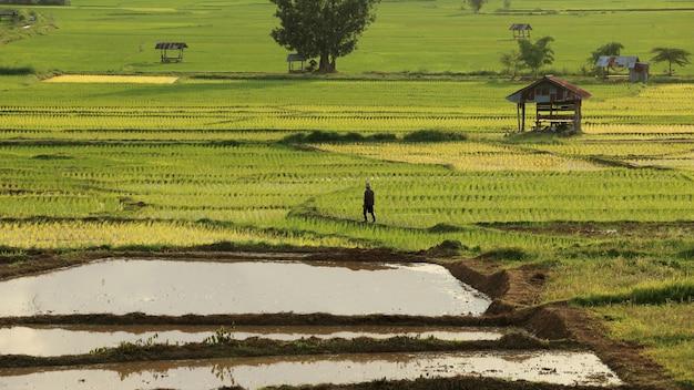 Agriculteur marchant dans la rizière