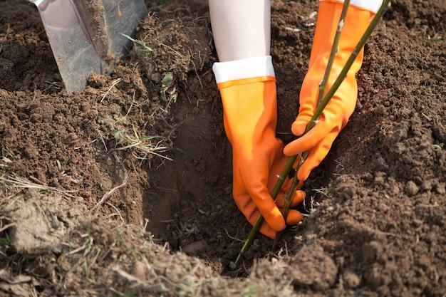 Agriculteur plantant pousses d'arbustes