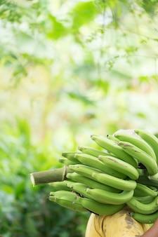 Agriculteur portant une banane verte à la ferme. travail tenant une banane verte à vendre.