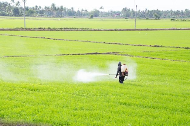 Agriculteur pulvérisant un pesticide dans la rizière