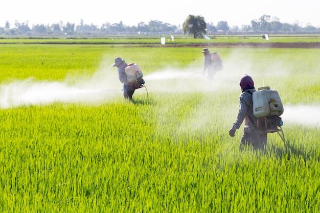 Agriculteur pulvérisant des pesticides dans la rizière