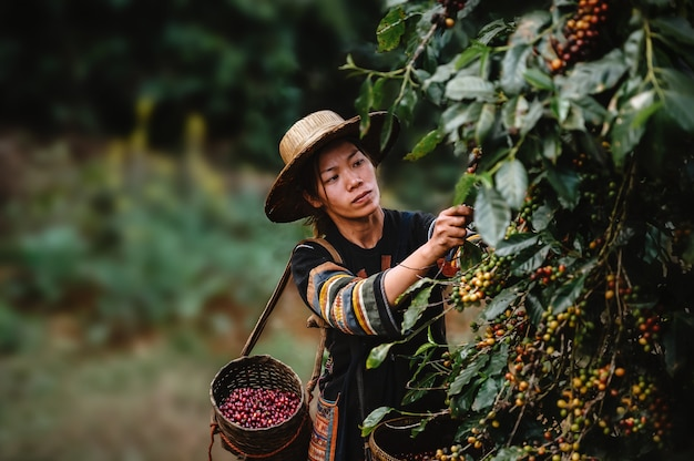 Agriculteur récolte café arabica cerise dans une plantation de café