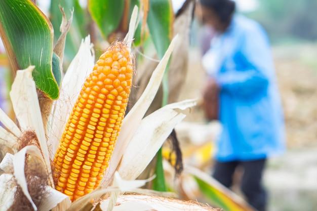 Agriculteur récolte du maïs jaune