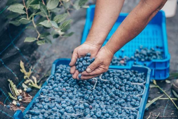 Un agriculteur récolte ou ramasser des myrtilles fraîches de son immense ferme de myrtilles, concept alimentaire