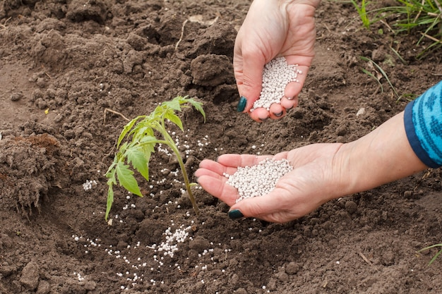 Un agriculteur répand de l'engrais chimique sur un jeune plant de tomate poussant dans le jardin