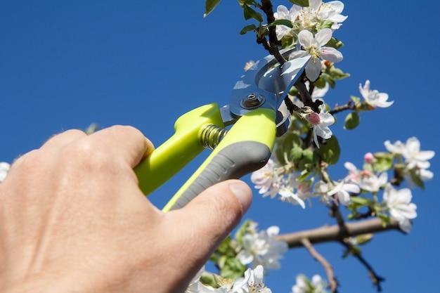 Un agriculteur s'occupe du jardin. taille de printemps des arbres fruitiers. l'homme avec un sécateur cisaille les pointes du pommier