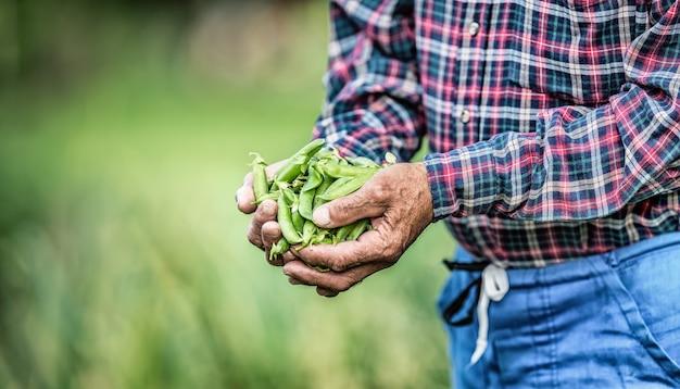 Agriculteur senior tenant dans ses pois frais hans.
