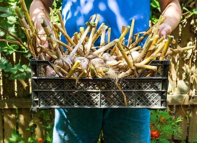 Un agriculteur tenant un panier avec une récolte d'ail