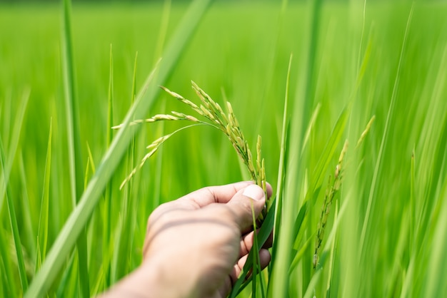 Agriculteur tenant des rizières vertes