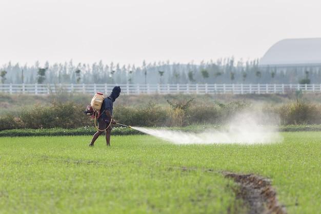 Agriculteur thaïlandais pulvérisation de produit chimique à la jeune rizière verte