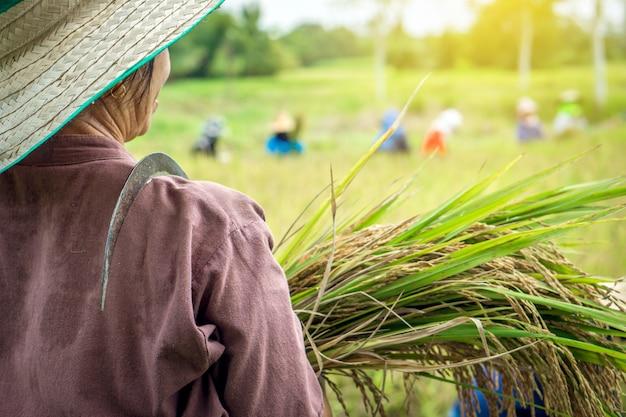 Agriculteur thaïlandais récoltant du riz à la ferme