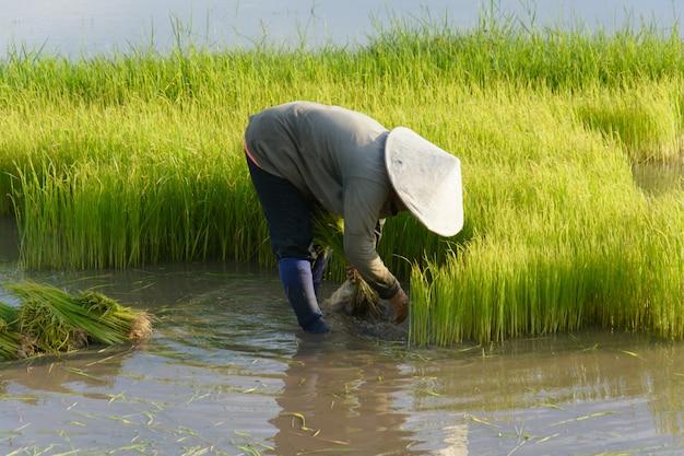 Un agriculteur thaïlandais transplante des plants de riz dans des champs de rizières