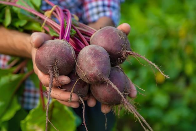 Un agriculteur tient des betteraves dans ses mains. mise au point sélective.