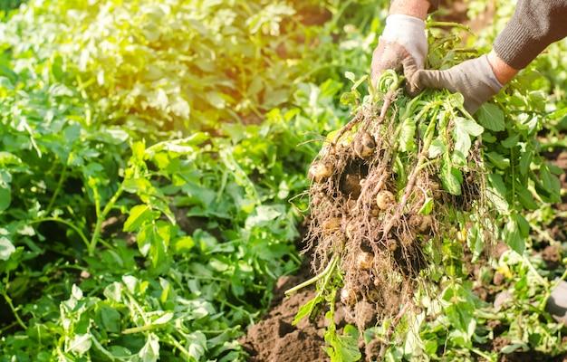 Agriculteur tient dans ses mains un buisson de jeunes pommes de terre jaunes, la récolte, le travail saisonnier
