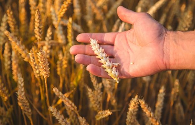 Un agriculteur tient des épis de blé à la main dans le champ. mise au point sélective.