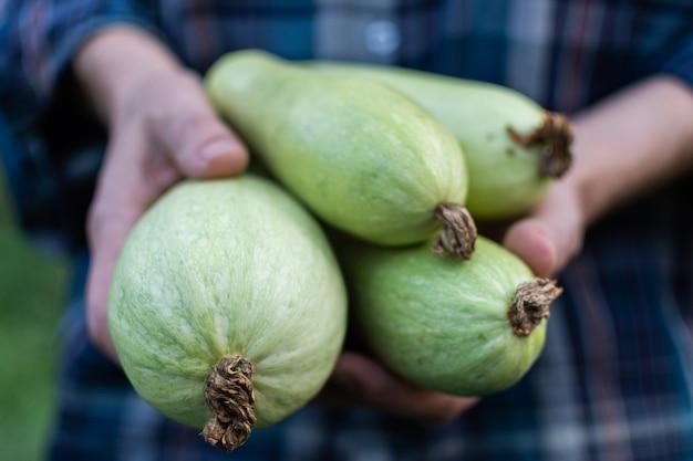 L'agriculteur tient une récolte fraîche de courgettes dans ses mains, des légumes biologiques du jardin