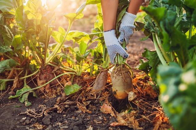 Agriculteur tirant la betterave rouge du sol.