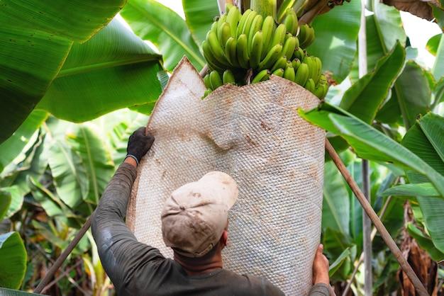 Agriculteur transportant un bouquet de bananes vertes à la ferme