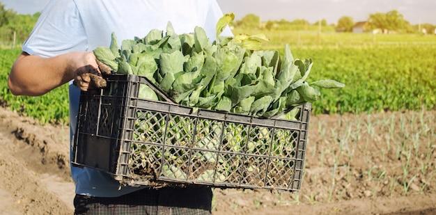 Un agriculteur transporte des plants de chou frais dans une boîte.