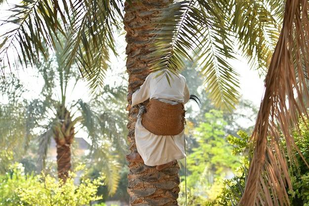 Agriculteur travaillant à la saison de récolte du palmier dattier