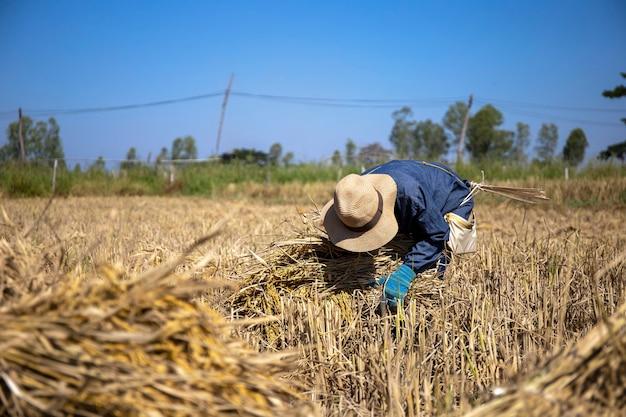Agriculteur travaille les plants de riz prêts pour la plantation