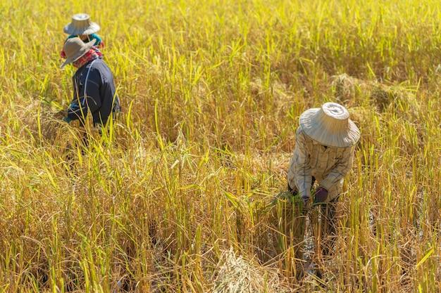 Agriculteur utilisant la faucille pour la récolte du riz