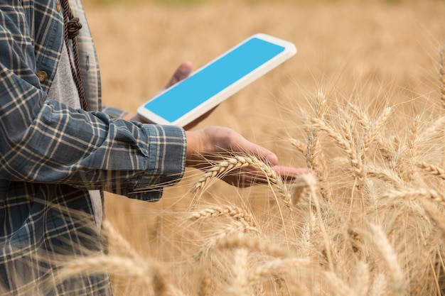 Agriculteur vérifiant les données dans un champ de blé avec une tablette et une récolte d'examen.
