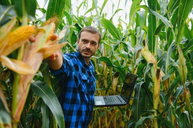 Un agriculteur vérifie la récolte de maïs de grande taille avant la récolte. agronome sur le terrain