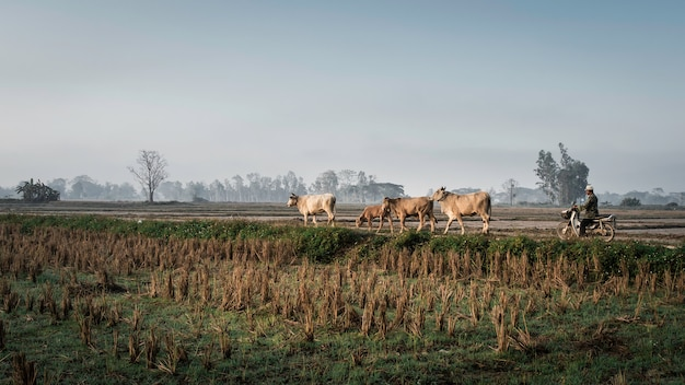 Les agriculteurs amènent les vaches pour manger de l'herbe dans les rizières. paysage dans les rizières le matin.