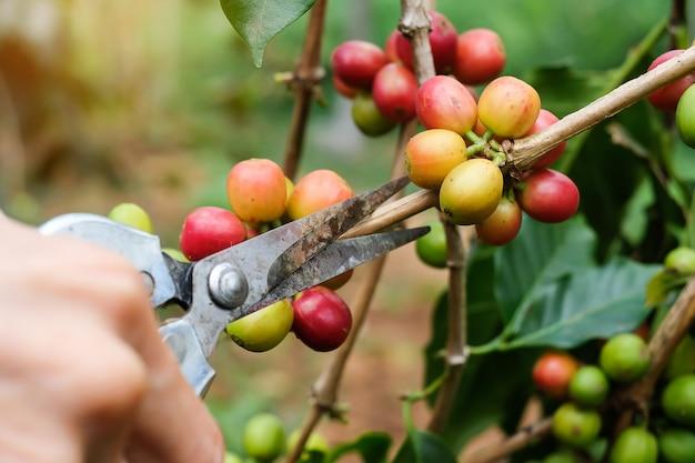Agriculteurs coupant une branche de caféier aux cerises, de baies arabica rouges ou mûres.