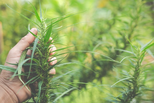 Les agriculteurs détiennent des arbres de marijuana (cannabis) dans leurs fermes.