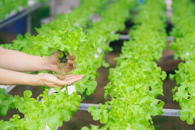 Les agriculteurs mains tenant des légumes frais hydroponiques dans la ferme