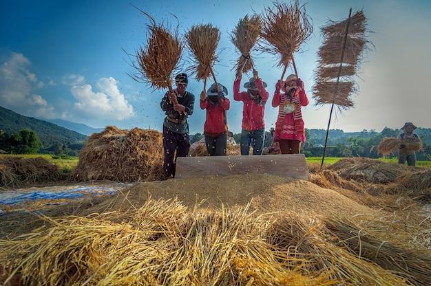 Les agriculteurs non identifiés se réunissent et coopèrent pour faire du riz traditionnel