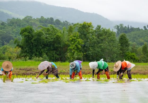 Les agriculteurs plantent du riz dans la ferme, les agriculteurs se penchent pour cultiver du riz, l'agriculture en asie, la culture avec des personnes.