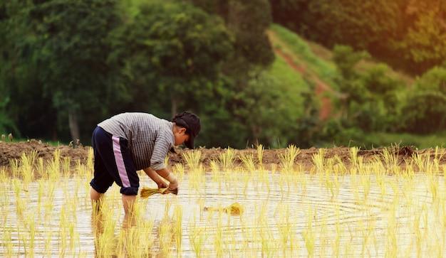 Les agriculteurs plantent du riz dans la ferme avec espace de copie et travaillent dans les montagnes