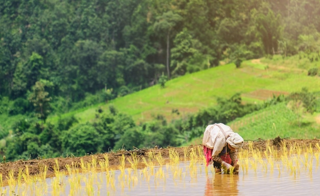 Les agriculteurs plantent du riz à la ferme
