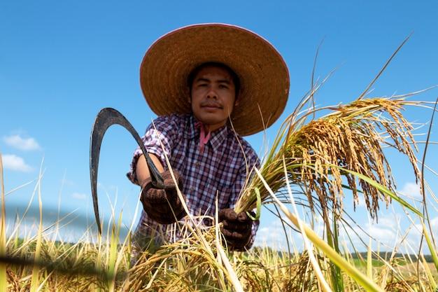 Agriculteurs récoltant du riz dans les champs sur un ciel bleu vif