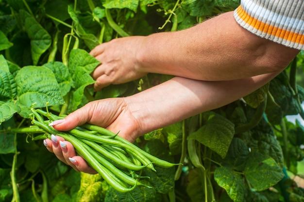 Les agriculteurs récoltent des haricots dans le jardin récolte un concept d'aliments sains