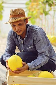 Les agriculteurs récoltent des melons dans des serres et des insecticides non chimiques. pour livrer aux clients