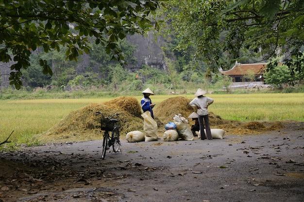 Agriculteurs traditionnels vietnamiens cultivant du riz dans les champs asiatiques