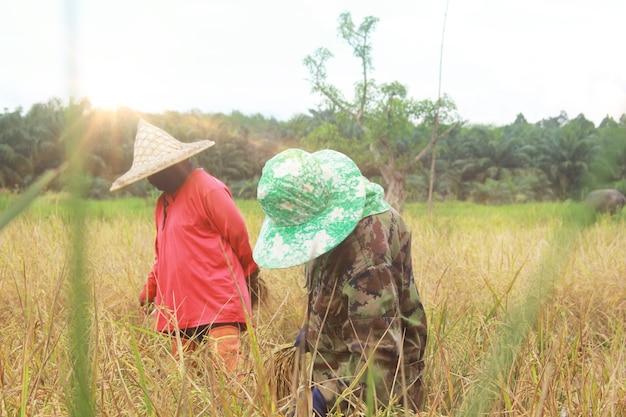 Agriculteurs en train de récolter, district de kuan khanun, province de phattalung, thaïlande