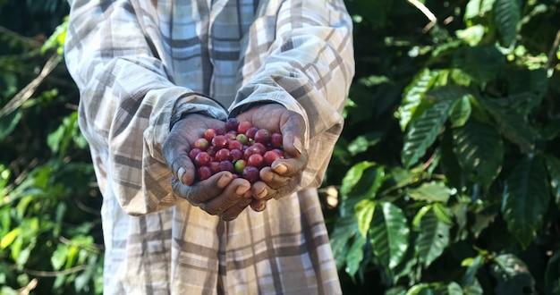 Une agricultrice africaine américaine montrant des grains de café rouges cueillis dans ses mains