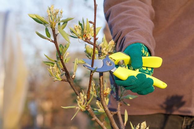 Une agricultrice s'occupe du jardin. taille de printemps des arbres fruitiers. femme avec sécateur cisaille les pointes de poirier. outil de jardin